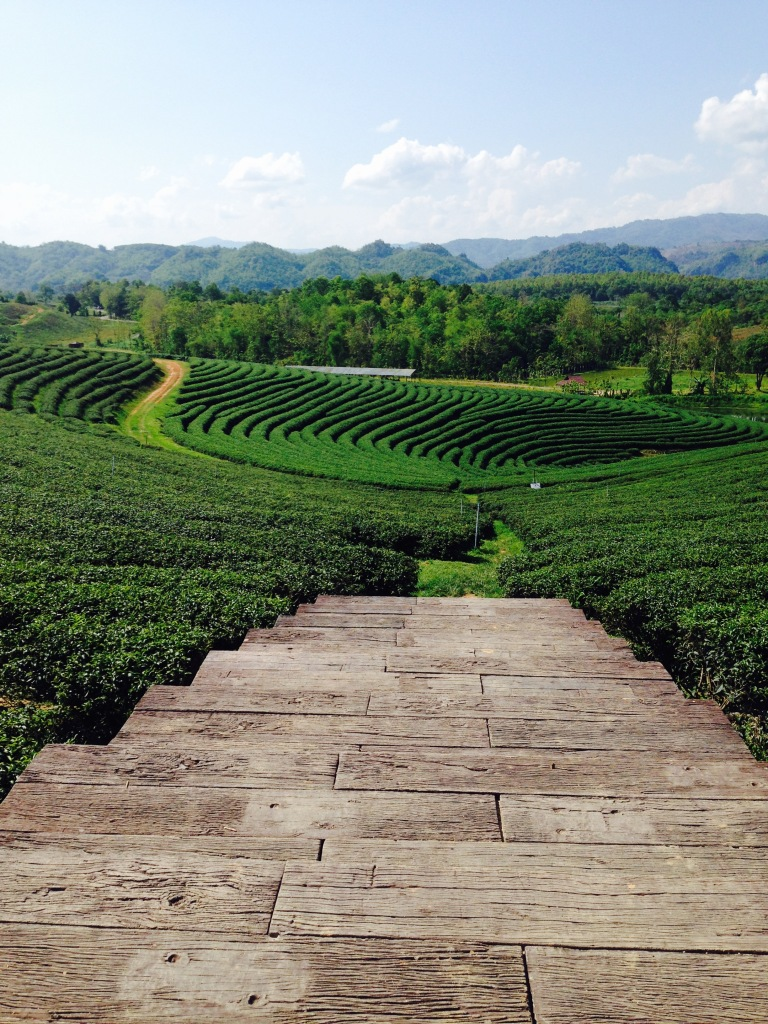 Tea terraces at Choui Fong plantation Chiang Rai